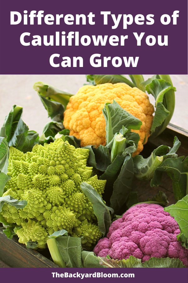 Different Types of Cauliflower You Can Grow