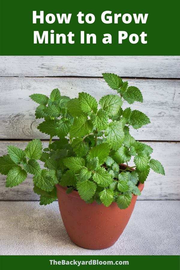 How to Grow Mint in a Pot Both Outdoors and Indoors