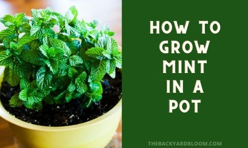 How to Grow Mint In a Pot