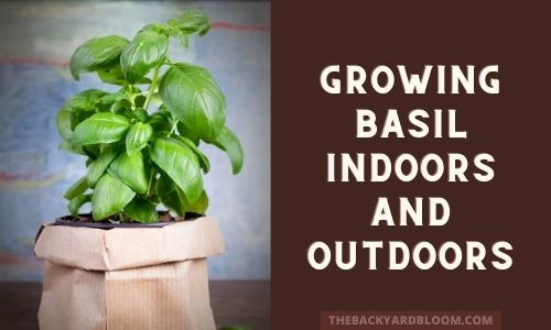 Growing Basil Indoors And Outdoors