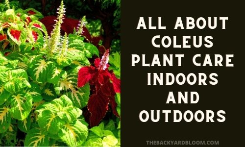 All About Coleus Plant Care Indoors and Outdoors