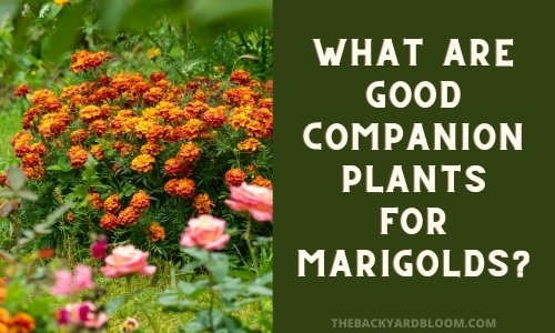 What Are Good Companion Plants for Marigolds?