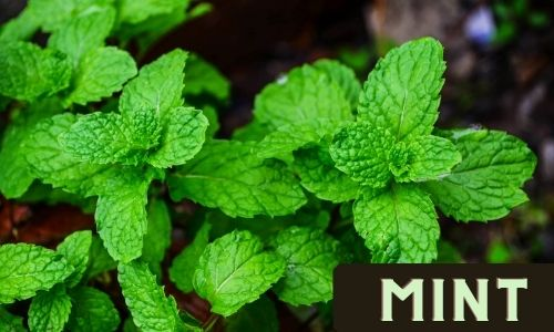 Grow Mint from Stem cuttings